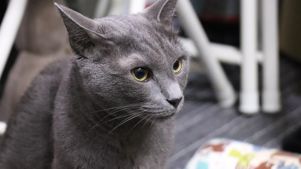 Cat Russian Blue A Brooks Free Photo On Pixabay