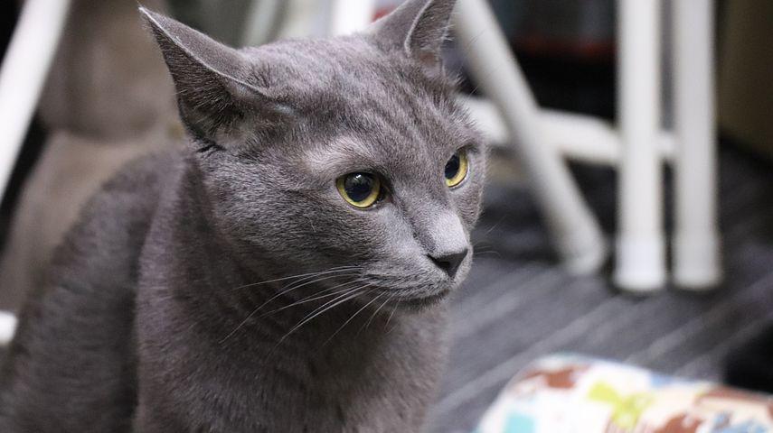 Порода кошек картинки серые