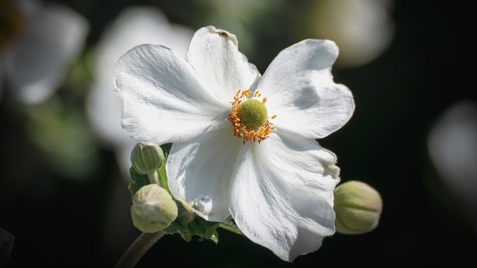 Fall anemone flower white free photo on pixabay fall anemone flower white autumn garden plant mightylinksfo