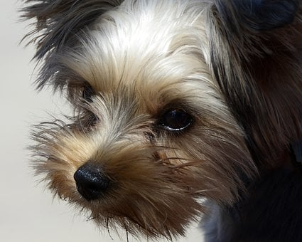 Dog, Animal, Yorkipoo, Pet, Portrait