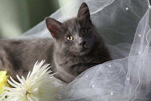 Maine Coon Cat, Wedding, Green Eyes