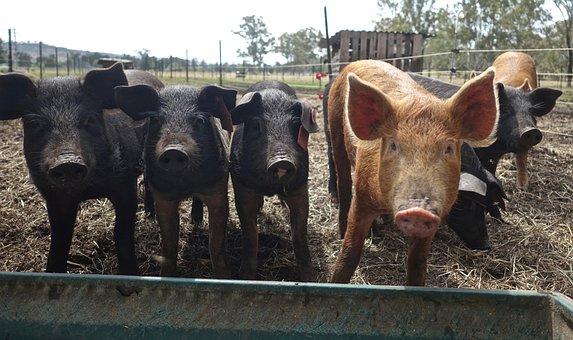 Cerdos, Animales, Hocico, Cerdo, Porcina