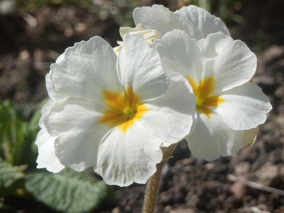 Pretty white free photo on pixabay pretty white flowers mightylinksfo