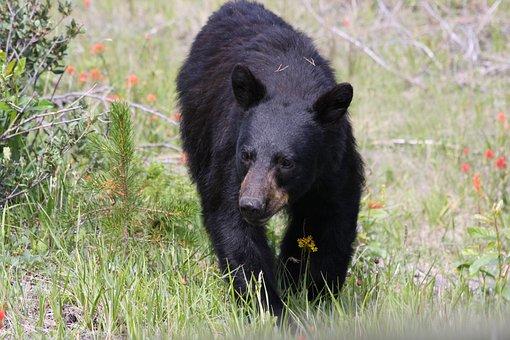 Bear, Jasper, Nature, Wildlife, Alberta