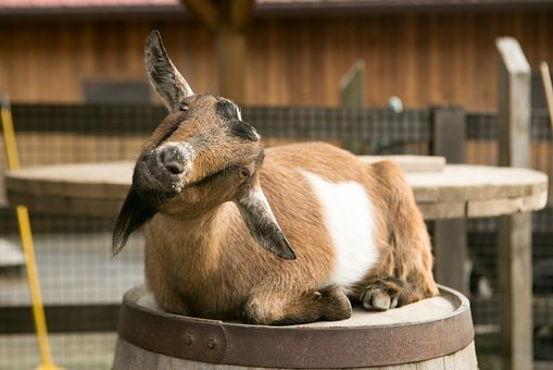 Goat, Barrel, Zoo, Petting