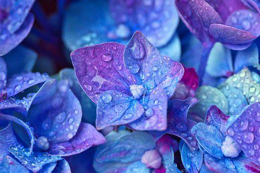 Hydrangea images pixabay download free pictures hydrangea flowers close up mightylinksfo