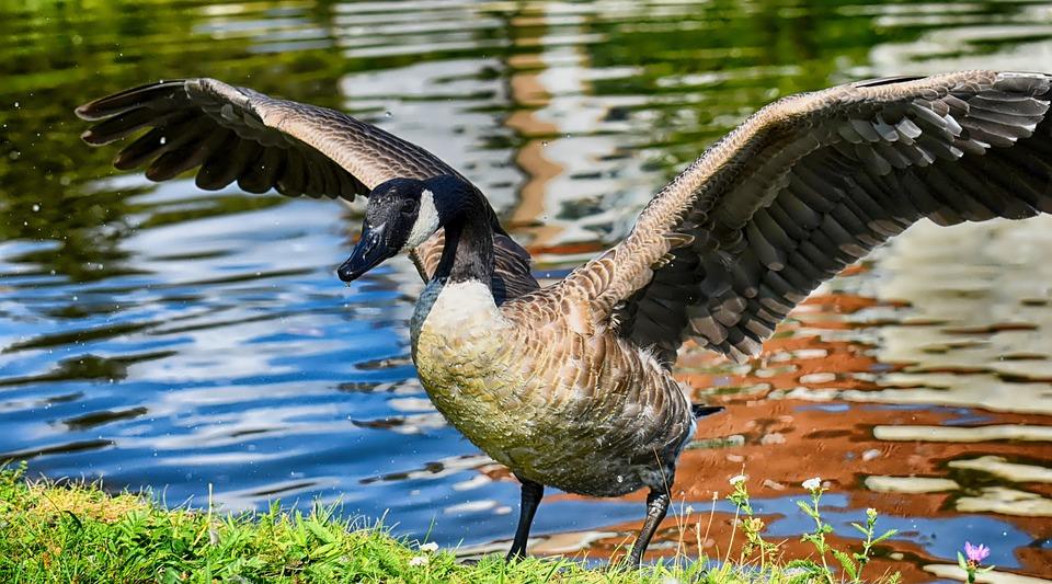 canada goose en francais