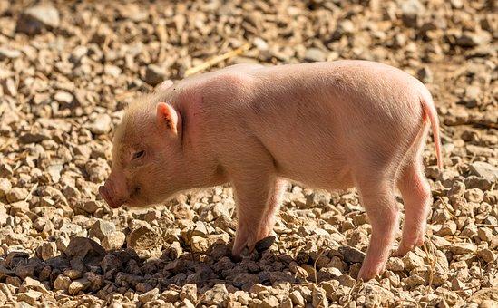 100+ kostenlose Hausschwein und Schwein-Bilder - Pixabay