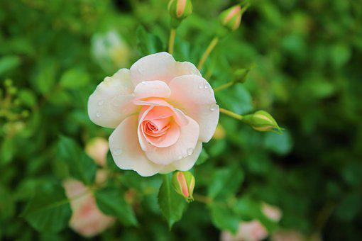 white rose images pixabay download free pictures