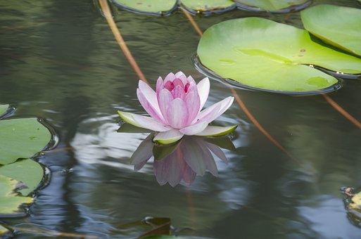 Lotusbloem, Bloem, Lotus, Bloemen