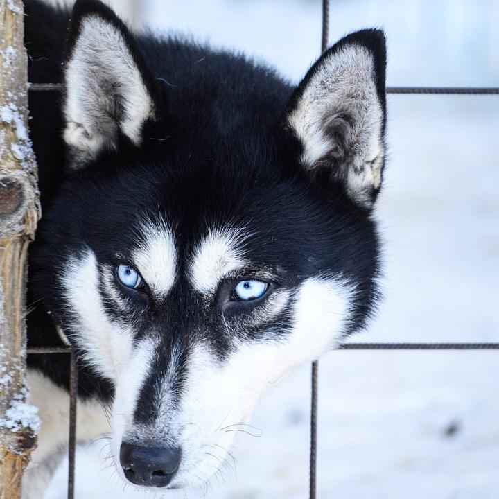 Husky, Siberian Husky, Dog, Winter, Eyes, Snow, Animals