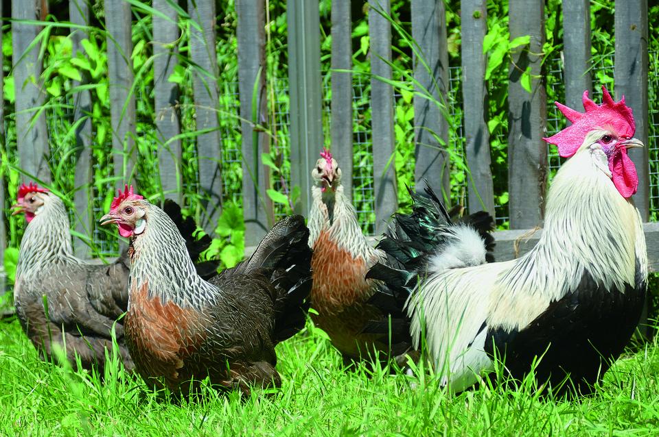 Ayam Jantan Dan Betina Foto Gratis Di Pixabay