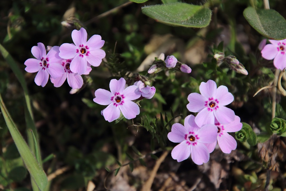 No filter moss phlox flowers pink free photo on pixabay no filter moss phlox flowers pink flower behold mightylinksfo