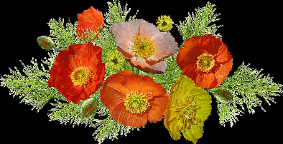 Amapolas Islandia Flores - Foto gratis en Pixabay