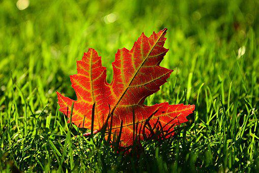 Maple Leaf, Fall, Leave, Autumn, Vein