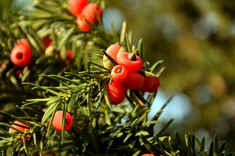 Yew, Taxus Baccata, Taxaceaee, Aril, Berries, Seeds