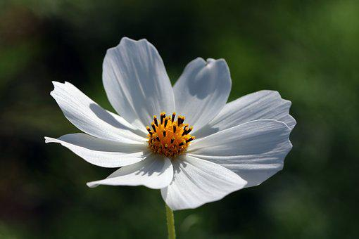 Cosmos flower images pixabay download free pictures autumn cosmos flowers nature plants mightylinksfo