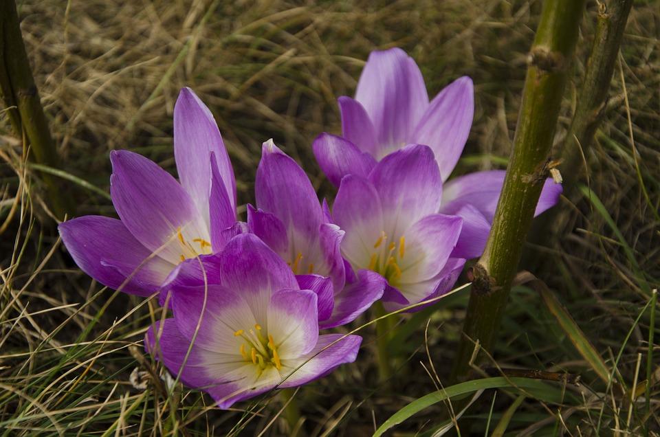 Colchicum, Violet Flower, Flower, Summer
