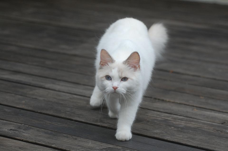 Biela mačička fotky