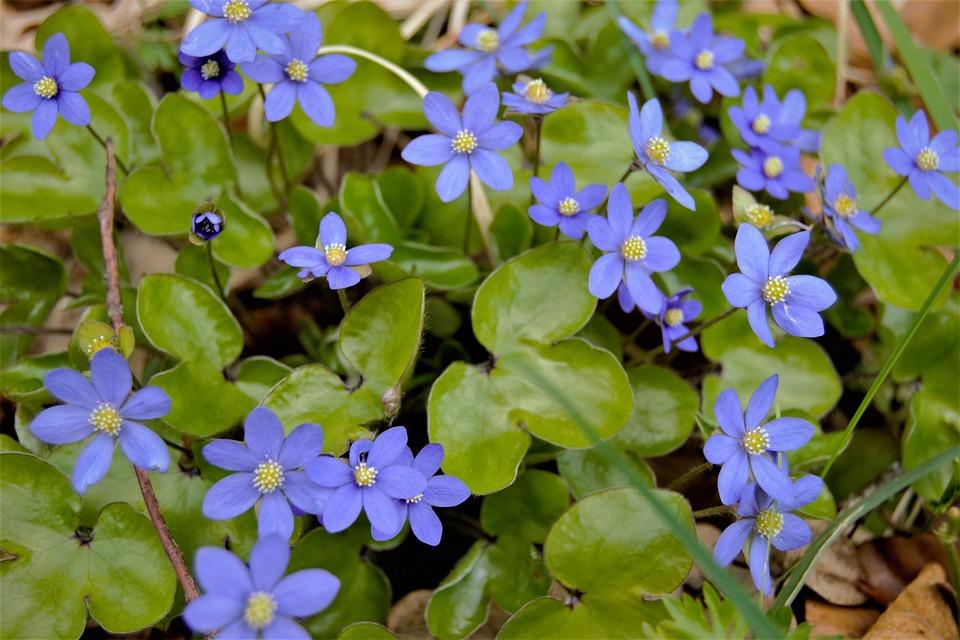 Blåsippa Blomma Våren - Gratis foto på Pixabay