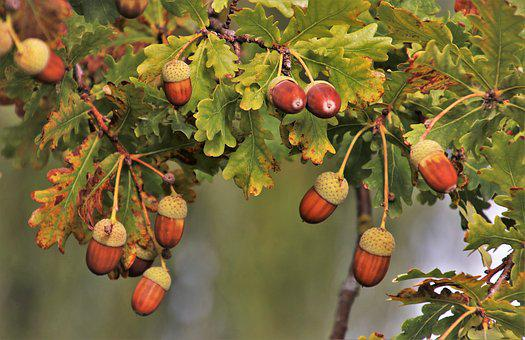 Branch, Acorns, In The Fall, Brown