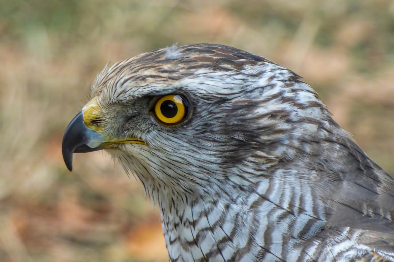 Хищные птицы свердловской области фото и описание
