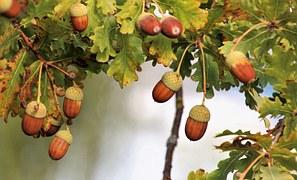 fruchtbecher der eiche