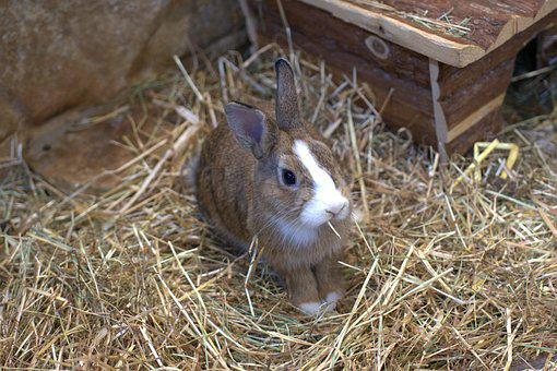 Dwarf Rabbit, Rabbit, Hare, Pet, Easter