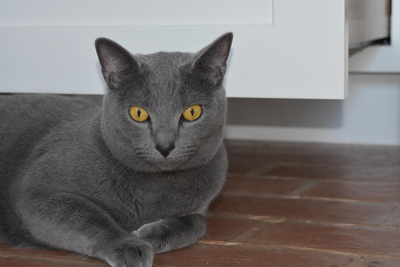 Картинки породистых кошек серого цвета