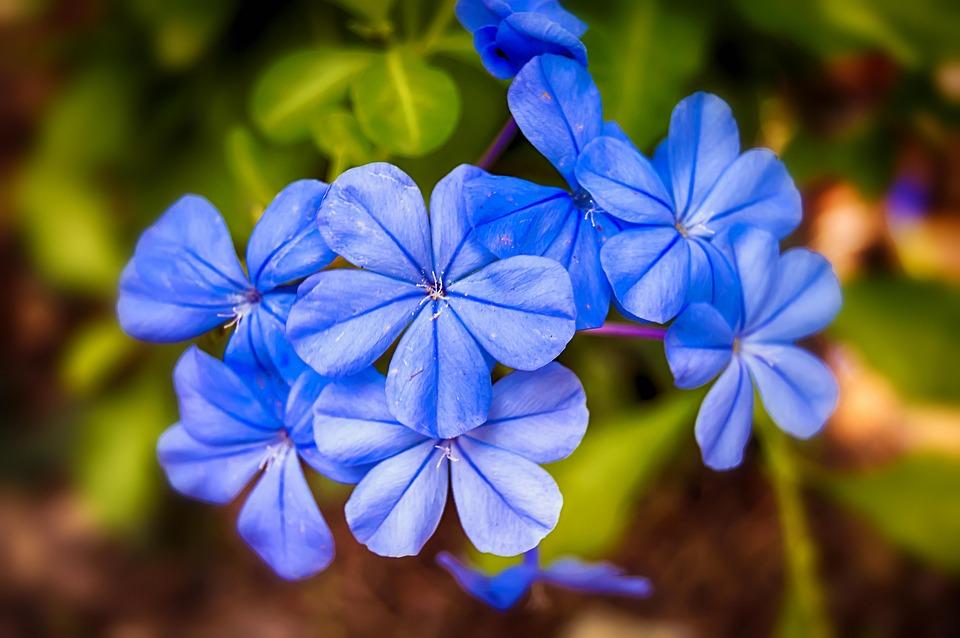 Jasmine Blue, Jasmine, Blue Flowers