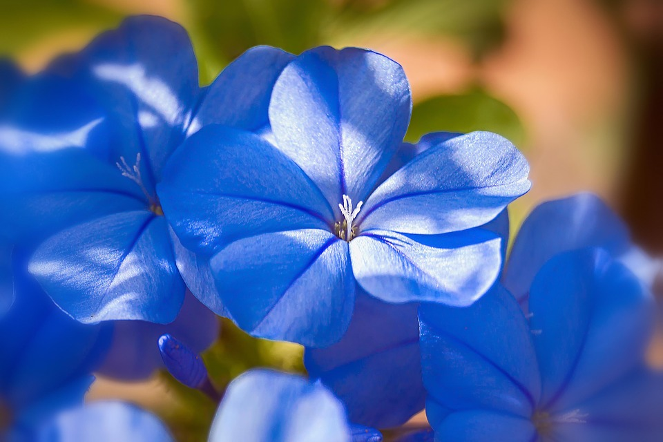 Jasmine Blue, Jasmine, Blue Flowers, Flowering