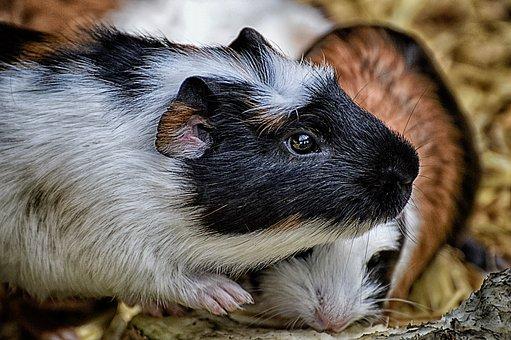 500+ Free Guinea Pig & Animal Images - Pixabay