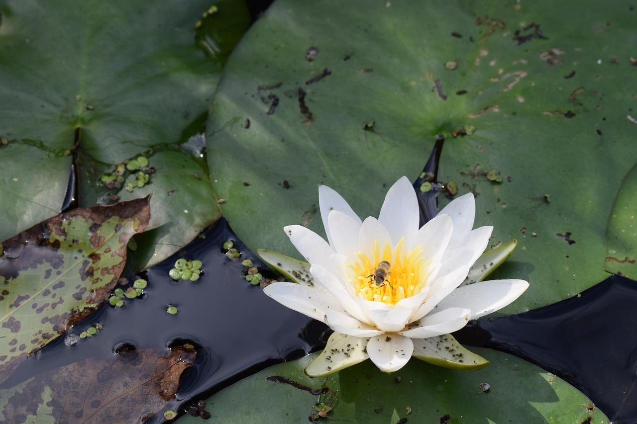 картинки с болотными лилиями уже
