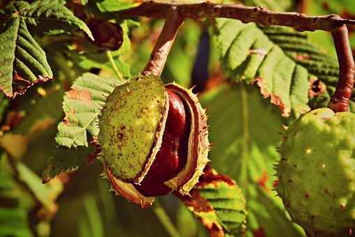Horse Chestnut, Nut, Conker, Husk