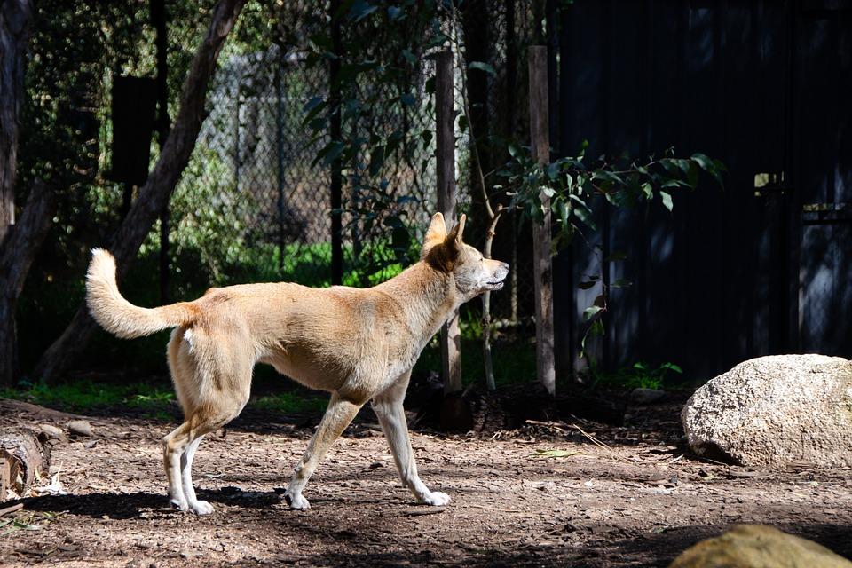 Dingo, Australiano, Mamíferos, Perro Nativo, Carnívoro