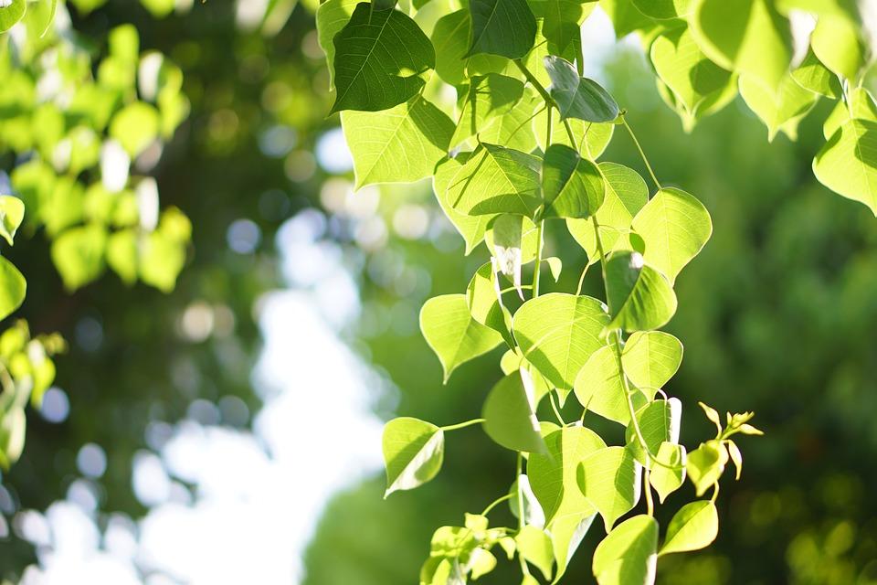 葉, 光, 緑, 木, 自然, 風景, 雰囲気, 明るい, 日光, 透け, 未来, 前向き