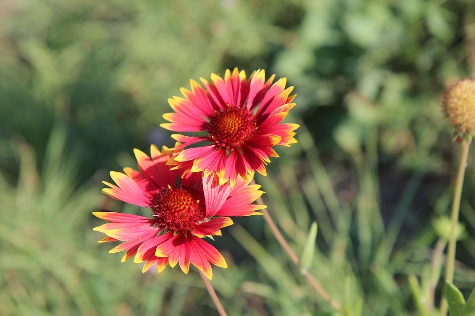 Gaillarde Fleurs Floraison - Photo gratuite sur Pixabay