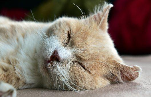 Cat, Tired, Sleep, Rest, Dreams, Relax