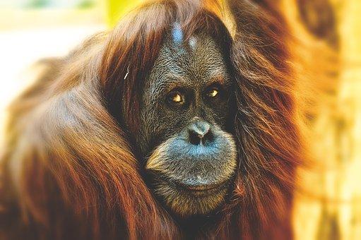 Orang Utan, Monkey, Cute, Funny, Zoo
