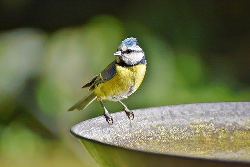 Blue Tit, Tit, Songbird, Bird, Bird Bath