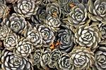sukulenty, roślin, dekoracyjny
