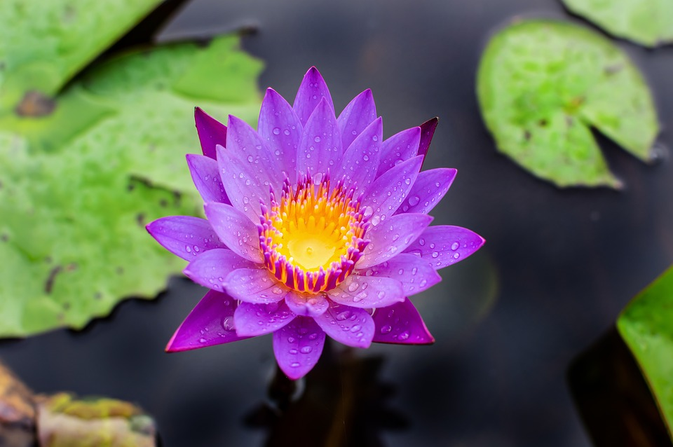 Blue lotus flower free photo on pixabay blue lotus flower flower lotus nature summer green mightylinksfo