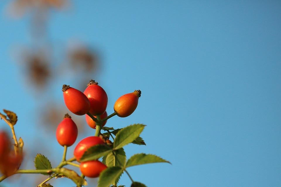 Rose Musquee Nature Plante Photo Gratuite Sur Pixabay
