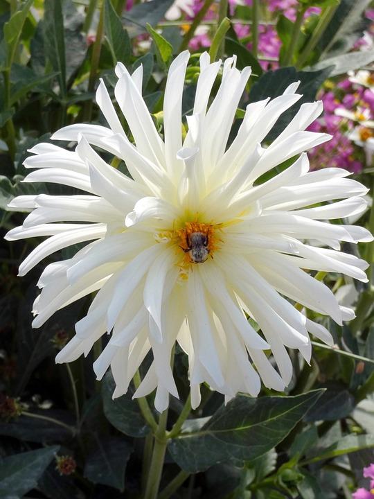 Dahlia white dahlia cactus free photo on pixabay dahlia white dahlia cactus flower asteraceae mightylinksfo