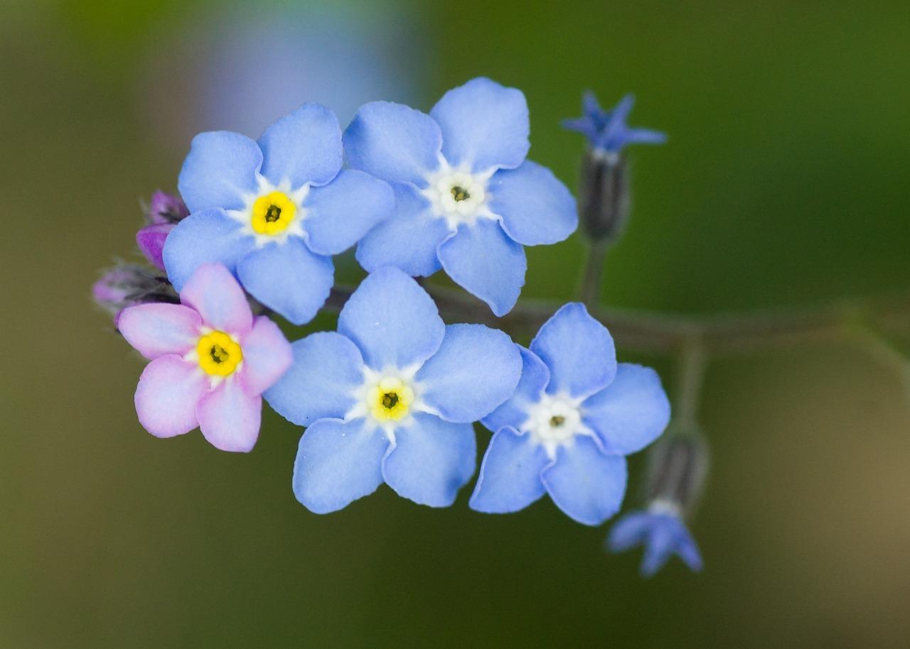 Цветы незабудки в картинках, картинках орифлейм открытки
