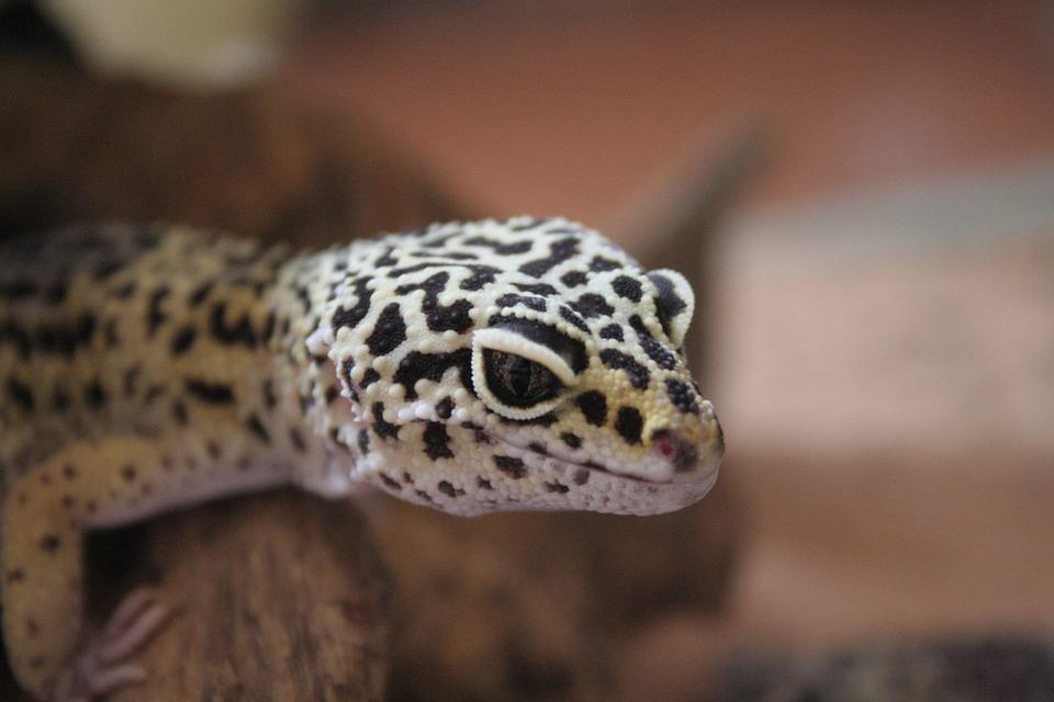 Gecko, Leopard Gecko, Geckos, Tokay Gecko