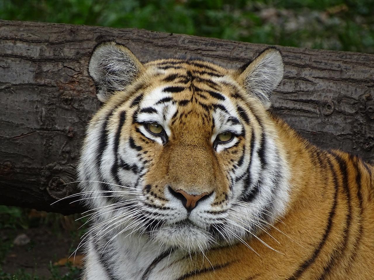 обиженный тигр фото проверенному