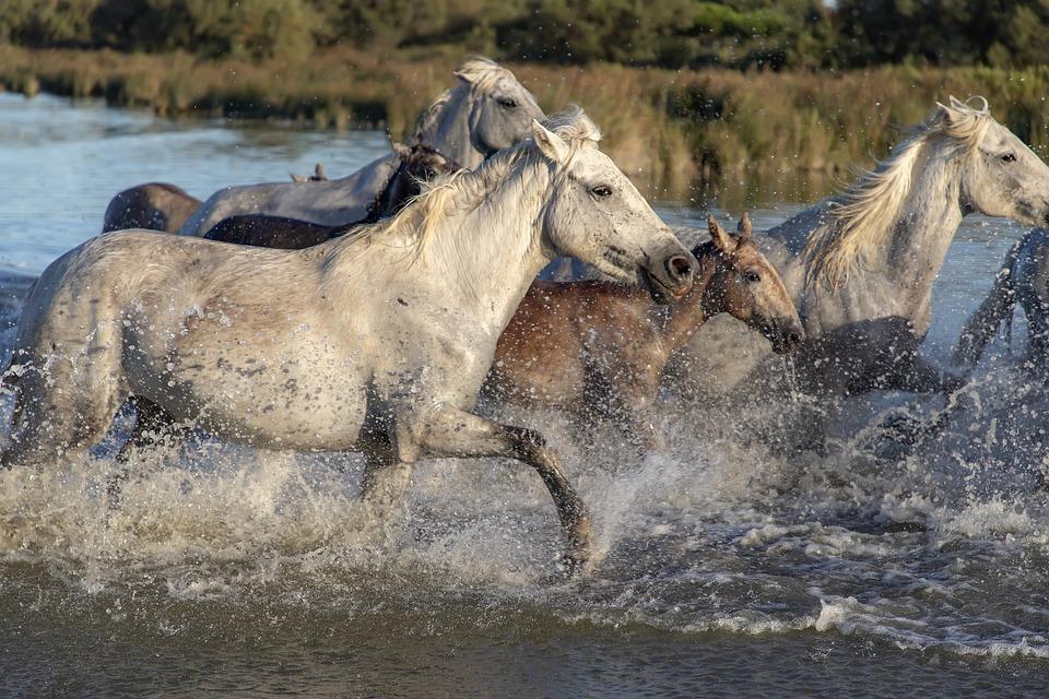 馬, 群れ, 動物, 川, 実行している, 自然, たてがみ, 水, スプラッシュ, ホワイト, 馬壁紙