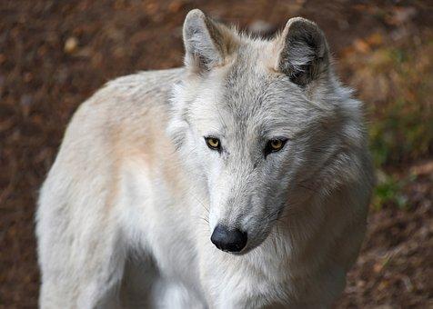 Wolf, Predator, White, Animal, Wild