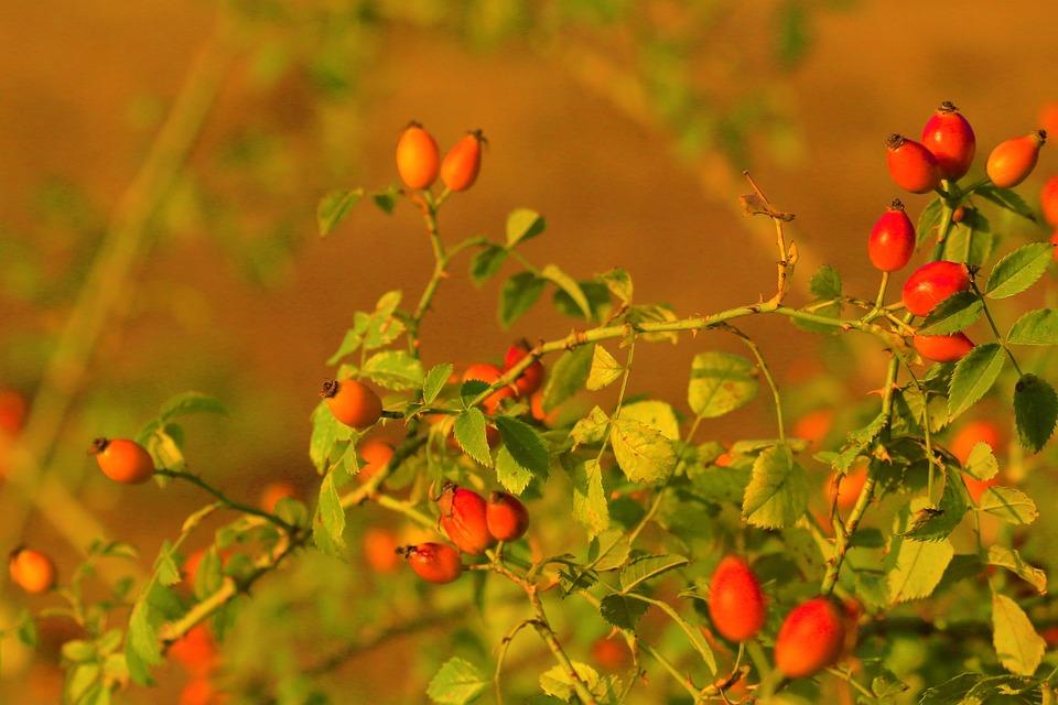 Rose Musquee Plante Nature Photo Gratuite Sur Pixabay